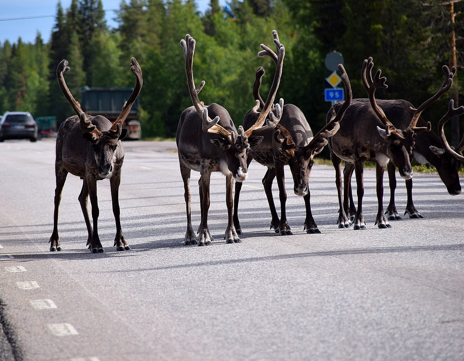 Reindeer Lined up Highway Summer StockImage001