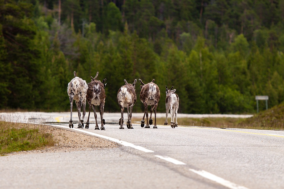Reindeer Lined up Highway Summer StockImage002
