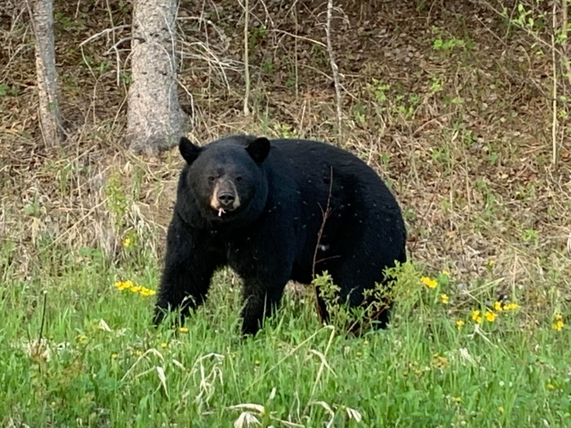 Black Bears Thriving In RMNP