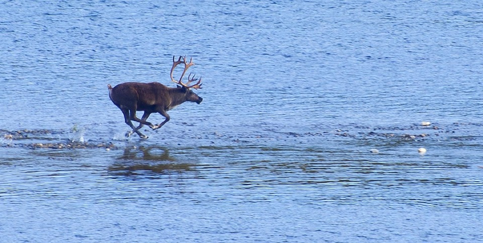Reindeer RunningOnTopOfWater Summer StockImage001