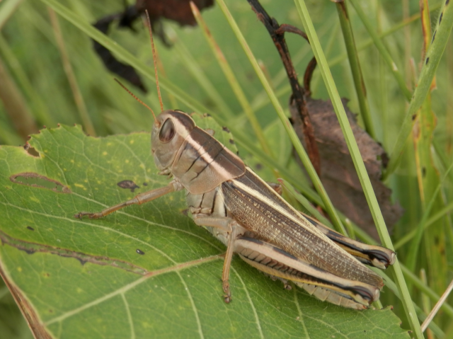 Grasshoppers A Concern In Parts Of MB